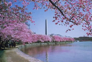 The cherry trees in full bloom and the Washington Monument