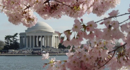The Jefferson Memorial peeks through the cherry blossoms, Washington DC's springtime signature